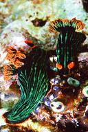 Mating Nembrotha kubaryana Nudibranchs