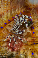 Zebra Crab in Fire Urchin