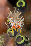 Tiger Shrimp