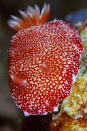 Chromodoris reticulata Nudibranch
