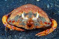 Ranina ranina Crab
