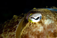 Cuttlefish Detail