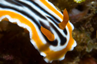 Chromodoris quadricolor