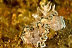 Glossodoris hikuerensis Nudibranch