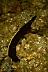 Juvenile Blue Ribbon Eel