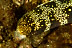 Snowflake Eel