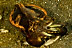 Flambouyant Cuttlefish