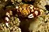 Lissocarcinus laevis Crab