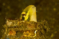 Sabretooth Blenny in Bottle