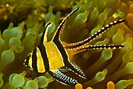 Banggai Cardinal