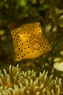 Juvenile Honeycomb Cowfish