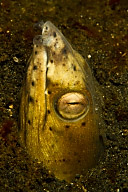 Black Finned Snake Eel