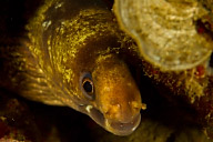 Enigmatic Moray Eel