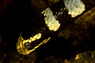 Sleeping Banded Sea Snake
