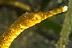 Longnose Pipefish