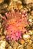 Flabellina rubrolineata Nudibranch
