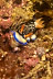 Hypselodoris maritima Nudibranch