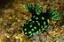 Nembrotha cristata Nudibranch