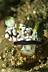 Chromodoris Geometrica Nudibranch