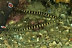 Ringed Pipefish Pair