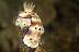 Risbecia tryoni Nudibranch