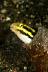 Sabretooth Blenny