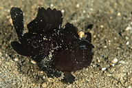 Galloping Painted Frogfish