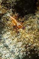 Emperor Shrimp on Holothurian