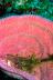 Banded Coral Shrimp in Pink Vase Sponge