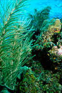 Gorgonian Garden
