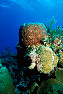Barrel Sponge