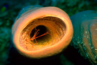 Arrow Crab in Tube Sponge