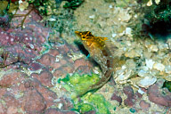 Diamond Blenny