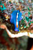 Blue Flatworm