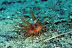 Juvenile Fire Urchin