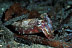 Red Cuttlefish