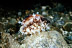 Deer Cowrie wtih Exposed Mantle