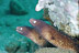 Pearl Eye Eels