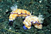 Risbecia Tryoni Nudibranchs