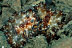 Discodoris Boholensis Nudibranchs