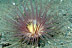 Anemone