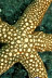 New Caledonia Sea Star
