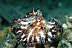 Discodoris Boholensis Nudibranch