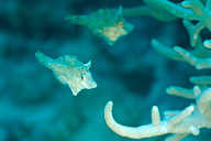 Whitebar Filefish