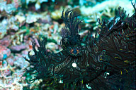 Rhinopias (Lacy Scorpionfish)