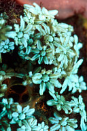 Galaxea Coral