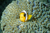 Juvenile Panda Clownfish
