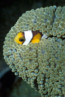Juvenile Panda Clownfish