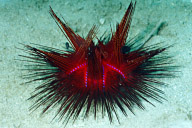 False Fire Urchin