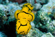 Notodoris Minor